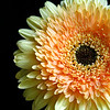 Glowing yellow face of a Gerbera daisy.
