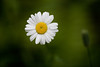 Oxeye Daisy (Chrysanthemum leucanthemum), a member of the sunflower family, and a weed in Glacier National Park