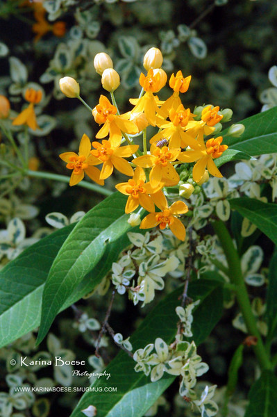 Butterfly Weed - Asclepias