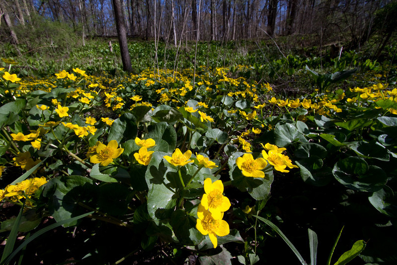 Marsh Marigold - Oak Openings - April 2010