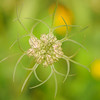 Queen Anne's Lace (Daucus carotais)