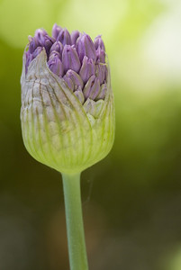 Allium flower\