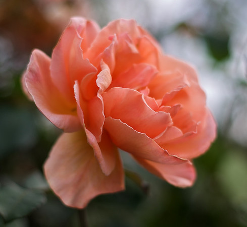 2011-11_flowers_2010-11-11_736_DJB_rights_reserved