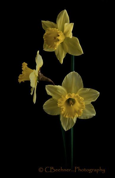 Three Yellow Daffies