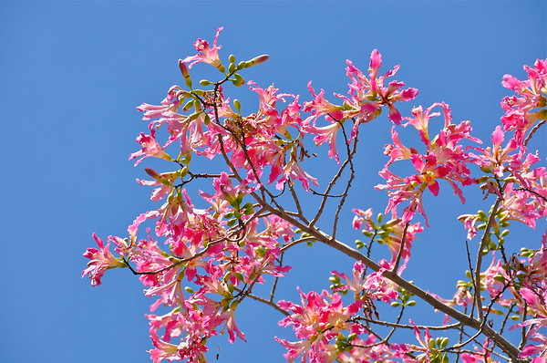 Blooms on a Silk Floss Tree