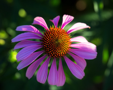 Echinacea grows in a City Farm School garden on an August afternoon in Montreal