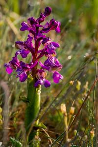 Austrian Orchid