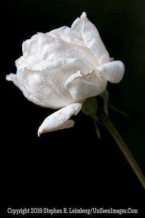 White Rose _L8I2114