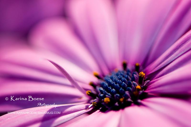 DSC_7462 daisy bloom flower purple 2010 1