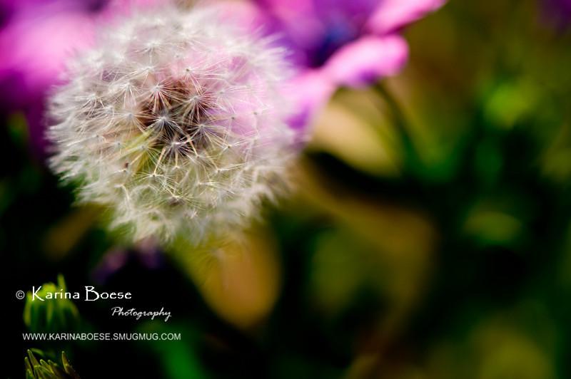 DSC_7452 dandelion weeds macro 2010 1