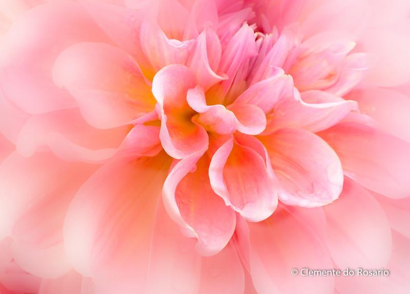 Pink Dahlia<br /> A closeup of a pink Dahlia