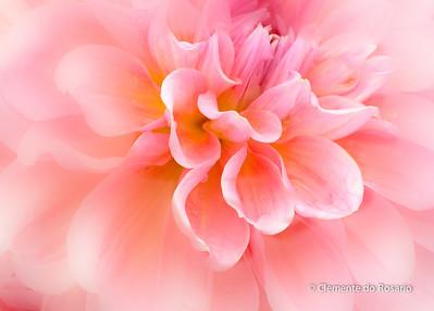 Pink Dahlia A closeup of a pink Dahlia