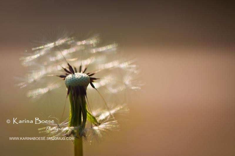 DSC_7459 dandelion weeds macro 2010 1