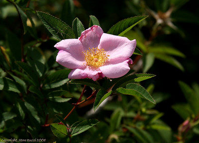 Wild Rose (note the green Lynx spider on the left leaf).