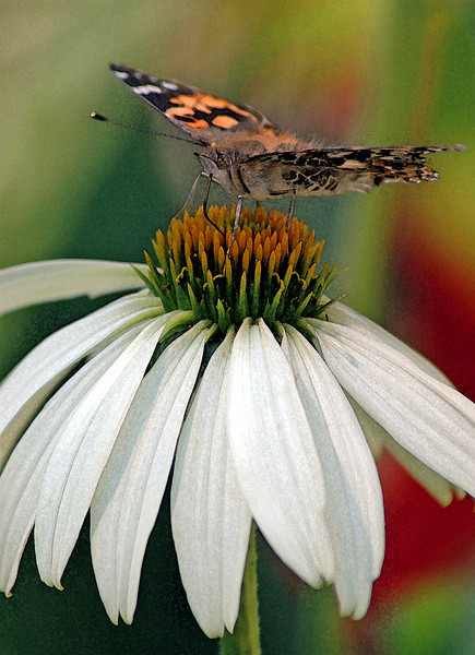 Echinacea with Butterfly - 'watercolor' filter