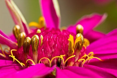Zinnia close up