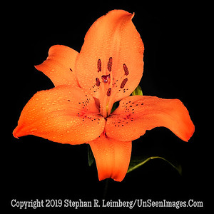 Lilly - Copyright 2018 Steve Leimberg UnSeenImages Com 2018-08-03 17-04-42 (A,Radius8,Smoothing4)
