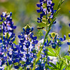 Bluebonnets<br /> Washington on the Brazos, Texas (2010)