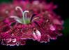 dianthus flower closeup pink