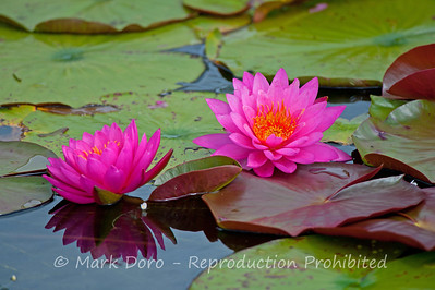 Pink Water Lillies, Tea Gardens, NSW