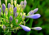 Lily of The Nile<br /> Agaphanthus