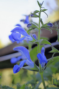 Sage 2011-02-28  Another one my my wife's various sage varieties is blooming.  Our hot/dry spring ended yesterday with thunderstorms and lots of rain and cooler temperatures.  Fortunately, I put up the new rain barrel two days ago and it is now almost full.  Enjoy the day!