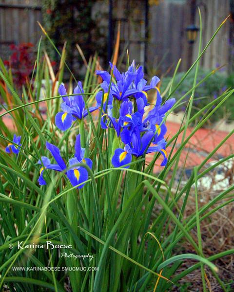 Iris<br /> March 2007