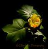 Magnolia of the Dark Side...