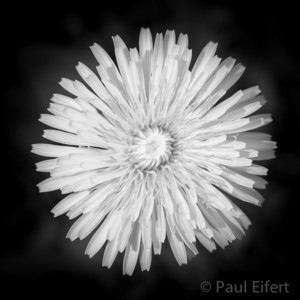 The symmetry of a dandelion.