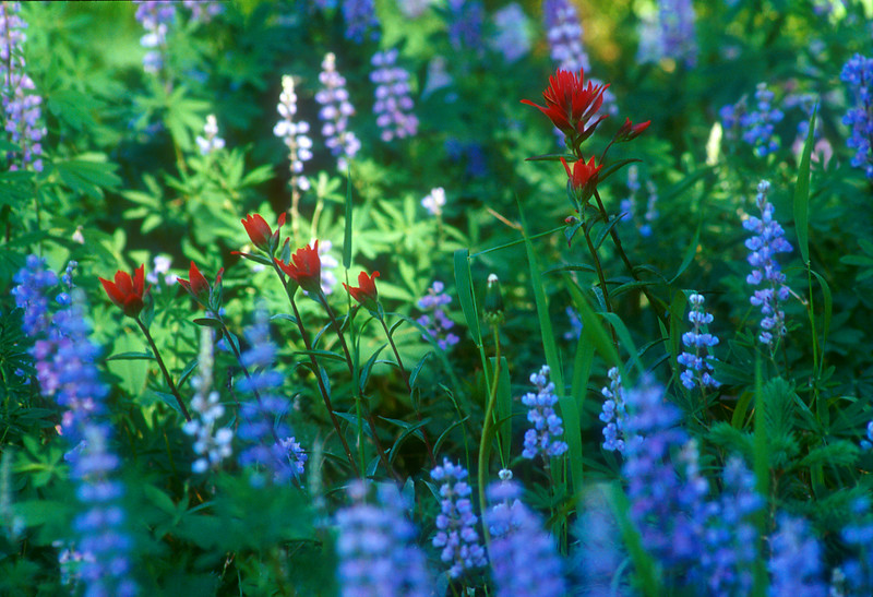 Lupine with Paintbrush