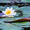 Water lily on Lake Burgaeschi