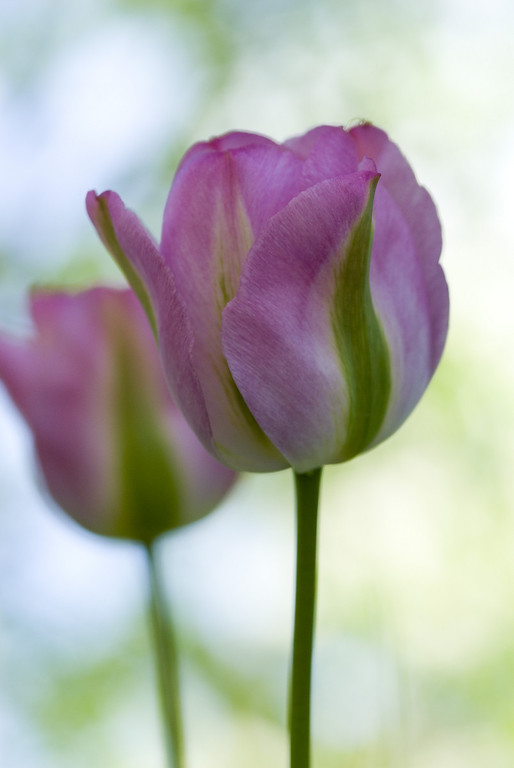 Pink-green tulips