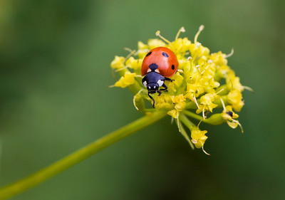 Lady bug on a flower in Waterton Lakes National Park
