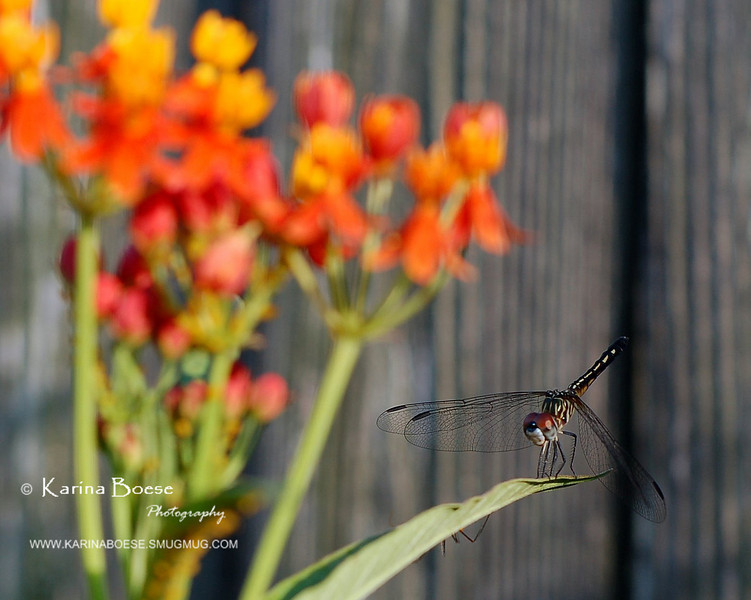 Butterfly Weed on The Background