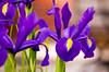 DSC_6650 macro flowers iris purple blue 2010 1