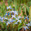Small Blue Spring Flowers