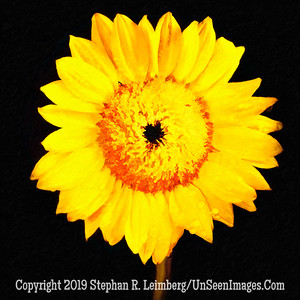 Sunflower - PAINTING  - Copyright 2018 Steve Leimberg UnSeenImages Com 2018-08-04 11-17-12 (A,Radius8,Smoothing4)