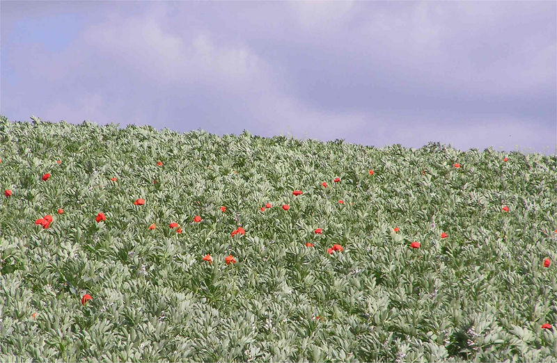 flackwell_poppies_June2005