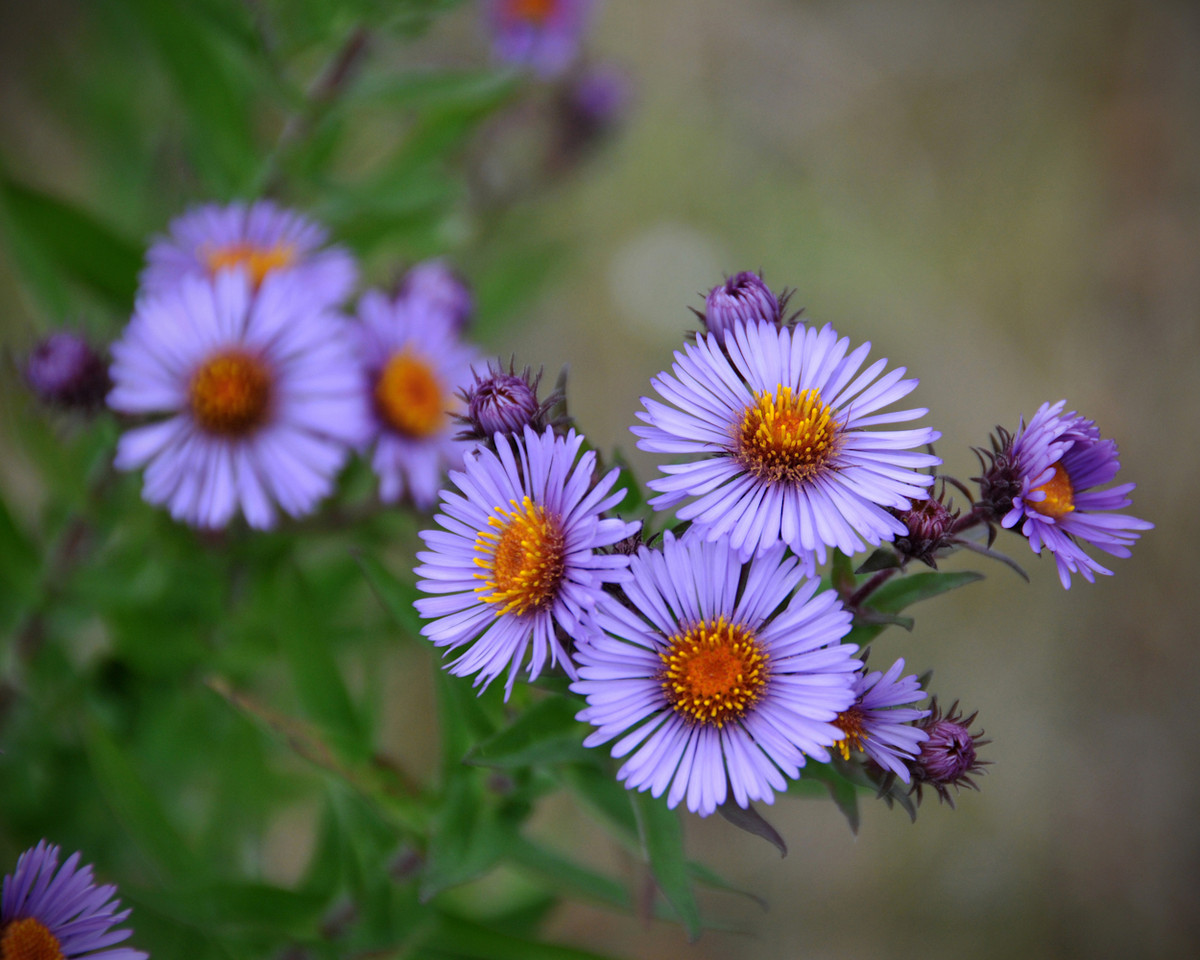 Asters In Fall