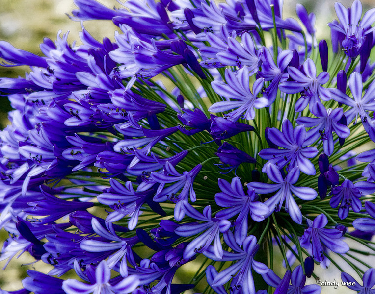 burst of purple