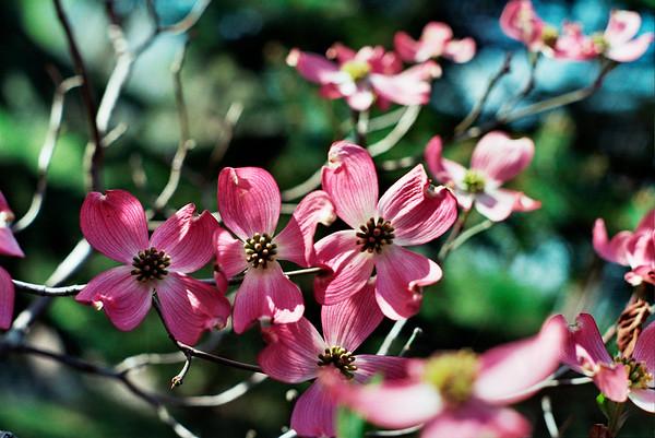 Pink Dogwood  2007