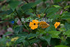 Saba - The black-eyed susan is the flower of Saba.  © Rick Collier