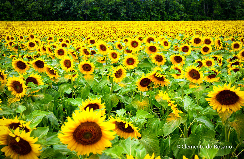 Sunflowers in bloom, Safari Road, Ontario,Canada