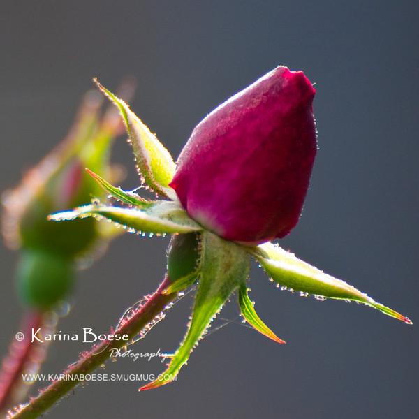 DSC_8135 rose red flower 70-300mmvr crop 2010 1