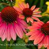 Echinacea 1