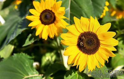 Bees on a sunflower in the East End community garden.