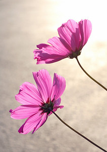 0021 Pink Cosmos