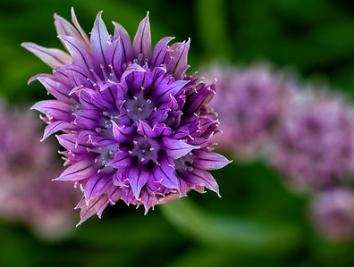 Purple Chive Flower