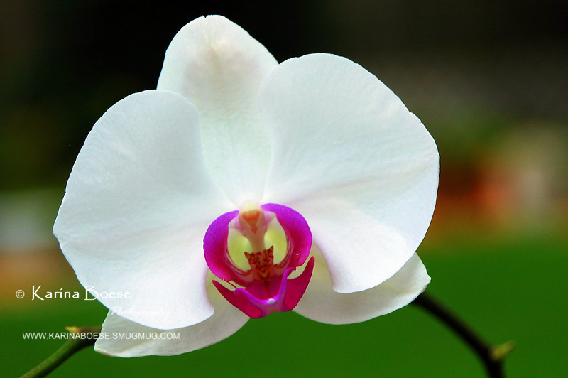 """Phalaenopsis Orchid<br /> Thu. April 24, 2008 (3rd Contender for Day 12 - DailyPhotos)<br /> <br />  <a href=""""http://karinaboese.smugmug.com/gallery/4715409_6eWPG/1/284724174_icdN2#284724174_icdN2"""">http://karinaboese.smugmug.com/gallery/4715409_6eWPG/1/284724174_icdN2#284724174_icdN2</a>"""