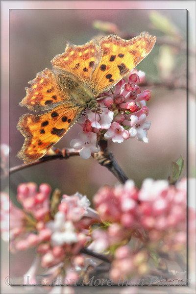 Looks like a Großer Fuchs (Nymphalis polychloros or Large Tortoiseshell)